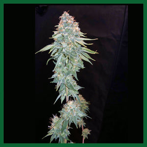 Sherbet Queen Feminised Seeds