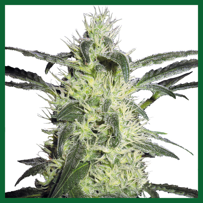 Silver Haze #9 Feminised Seeds