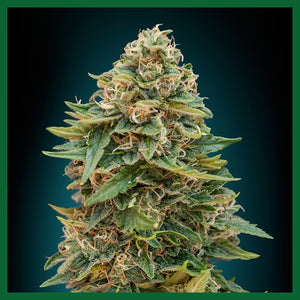 Skunk Mass Auto Feminised Seeds