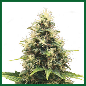 Somango XL Feminised Seeds