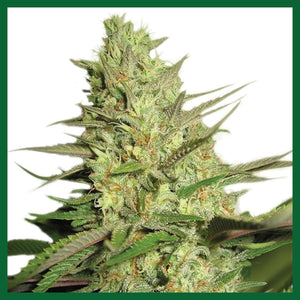 Special Kush #1 Feminised Seeds