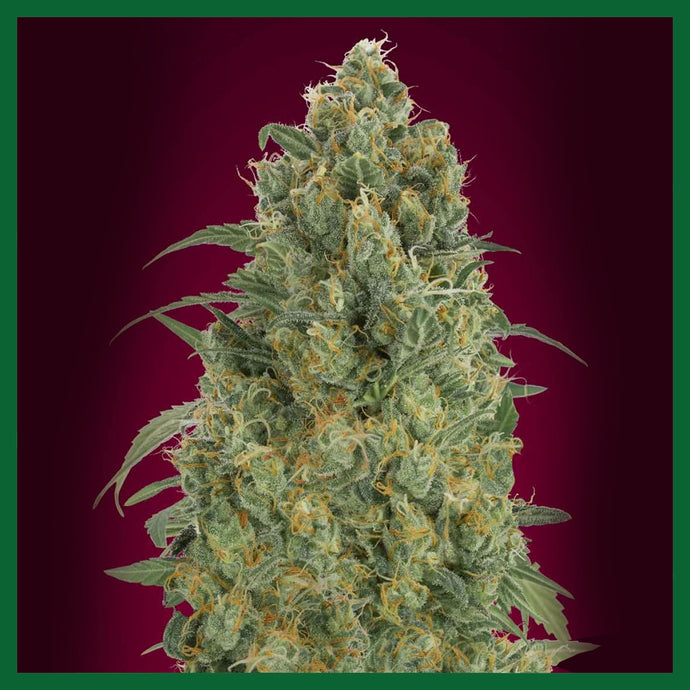 Strawberry Gum Feminised Seeds