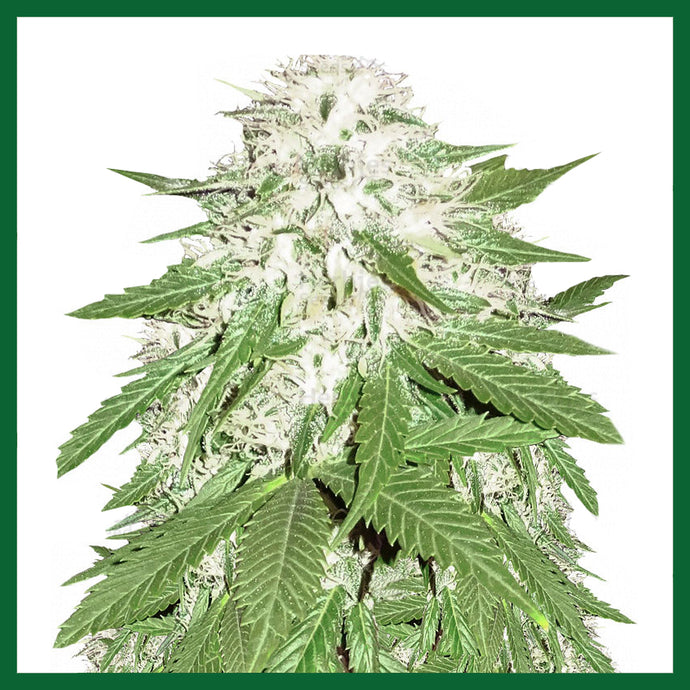 Sumo's OG Kush Feminised Seeds - 3