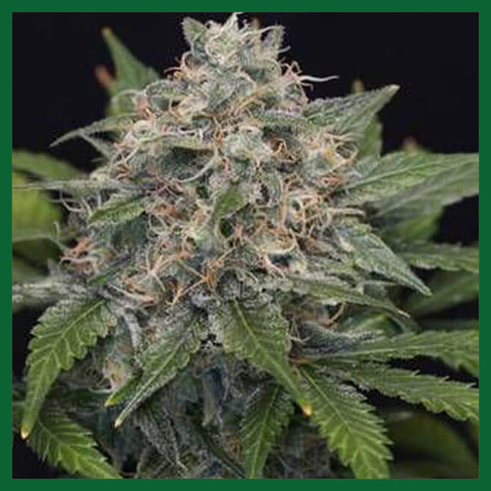 Super Pineapple Haze Feminised Seeds