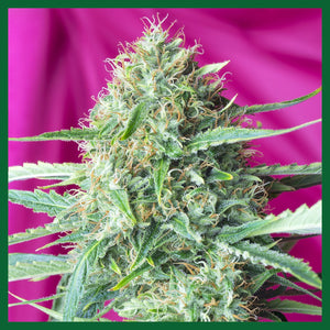 Sweet Amnesia Haze Feminised Seeds