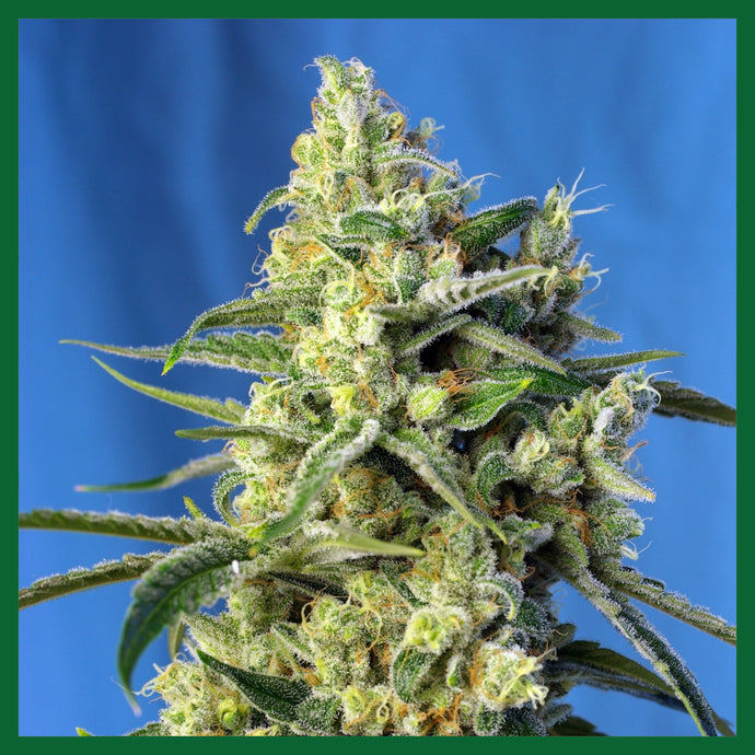 Sweet Amnesia Haze XL Auto Feminised Seeds