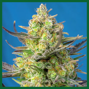 Sweet Cheese XL Auto Feminised Seeds
