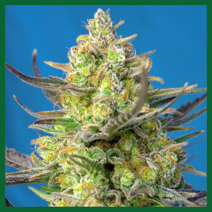 Sweet Cheese Feminised Seeds