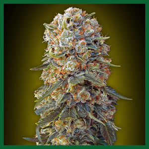 Sweet Critical Feminised Seeds