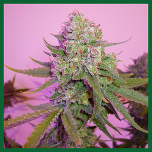 Sweet Harlem Diesel Regular Seeds - 3