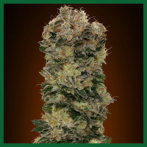 Sweet Soma Auto Feminised Seeds