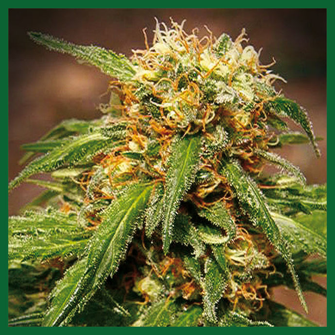 Sweet Tai Feminised Seeds