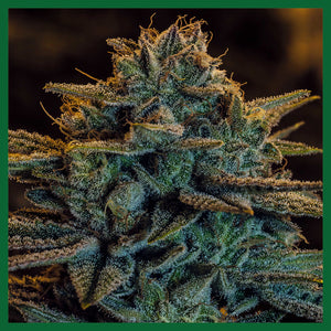 Sweet Zombie Feminised Seeds