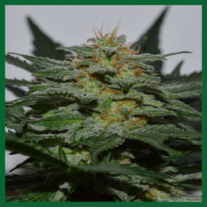 SweetBerry Cough Auto Feminised Seeds