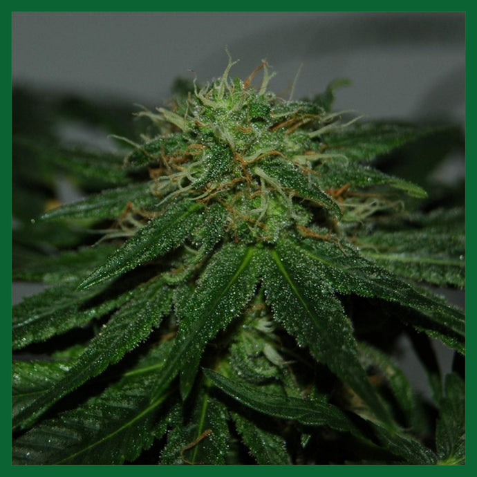 Tatanka Pure CBD Feminised Seeds