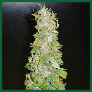 Think Big Auto Feminised Seeds