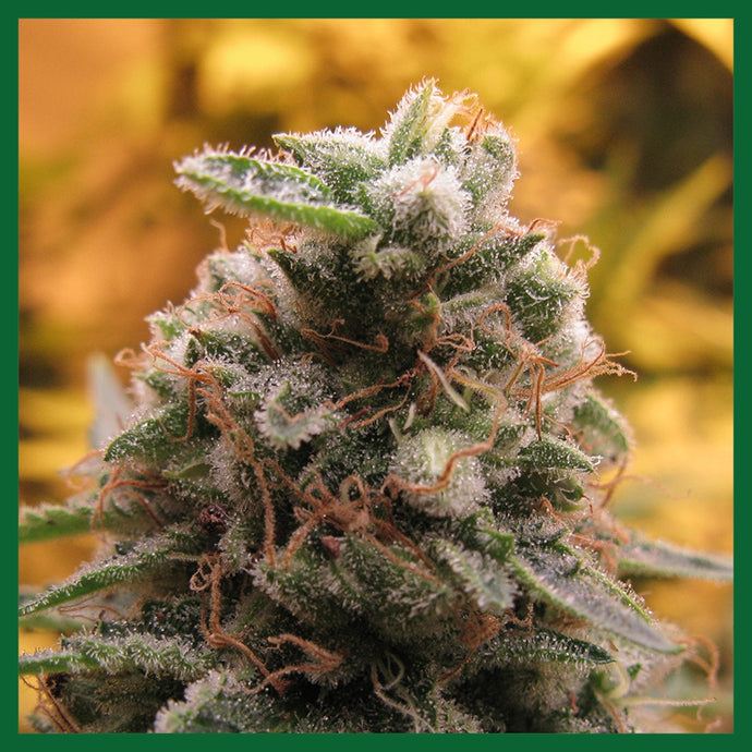 Top 69 Auto Feminised Seeds