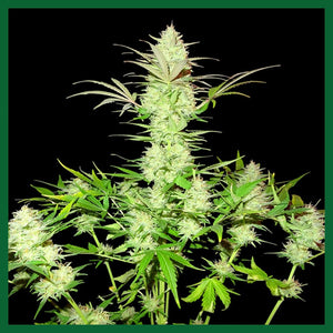 Ultimate AK Feminised Seeds - 3