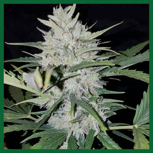 White Cheese Auto Feminised Seeds - 3