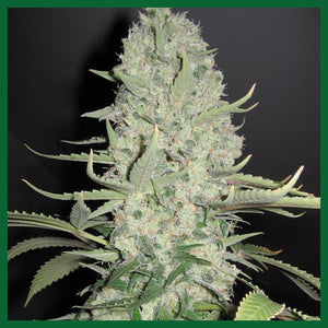 White Widow x Big Bud Feminised