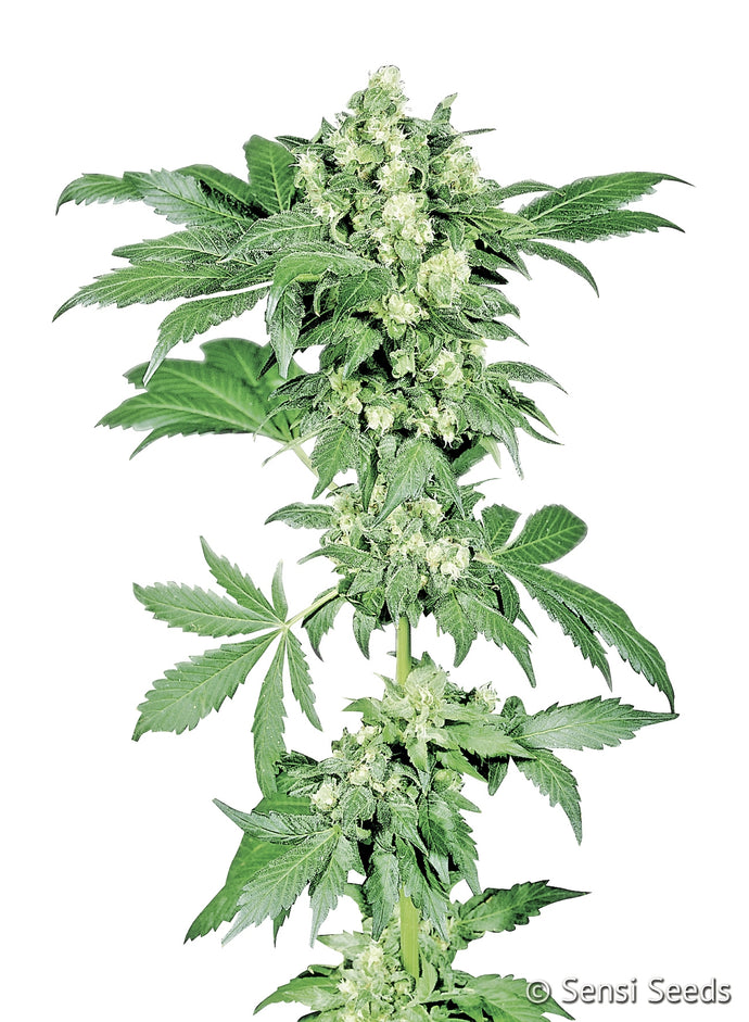 Afghani #1 Feminised Seeds