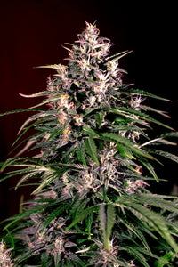 Dosi Auto Feminised Seeds - 5