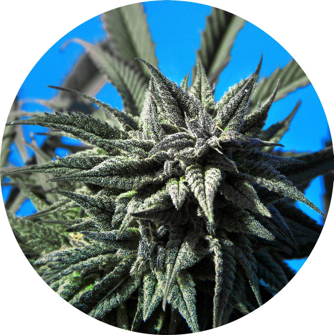 Tao Blueberry Auto Regular Seeds - 5