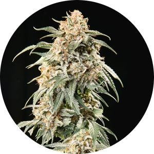 Big AUTO Tao Regular Seeds - 5