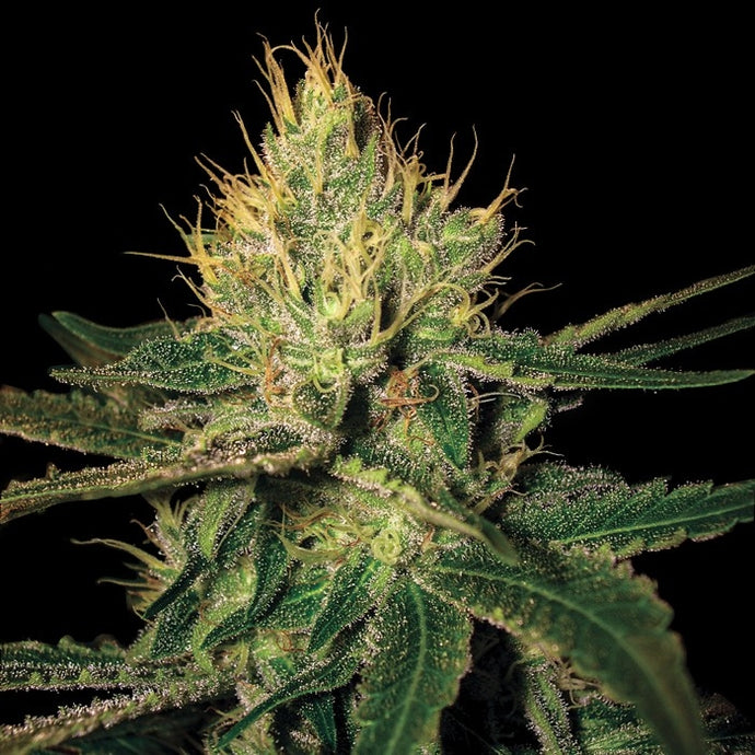 Cannalope Haze Regular Seeds - 6