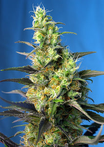 Ice Cool CBD Feminised Seeds