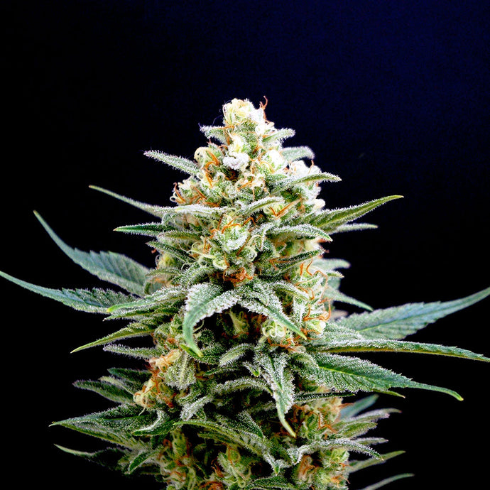 Kritikal-K Feminised Seeds