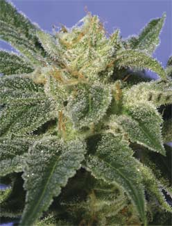Kushage Feminised Seeds