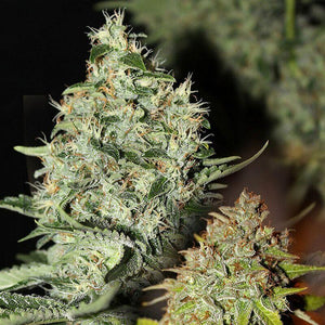 Labrador Regular Seeds - 11