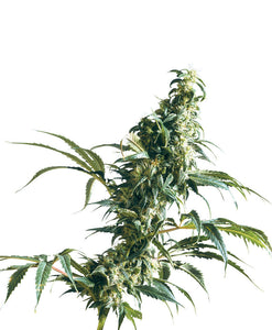 Mexican Sativa Feminised Seeds