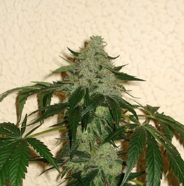 RoadDawg Regular Seeds - 12