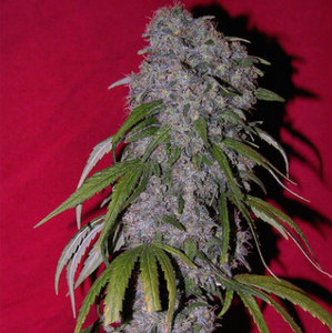 Sex Bud Feminised Seeds