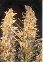 Skunk Special Feminised Seeds