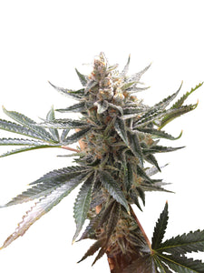 Tangie Feminised Seeds