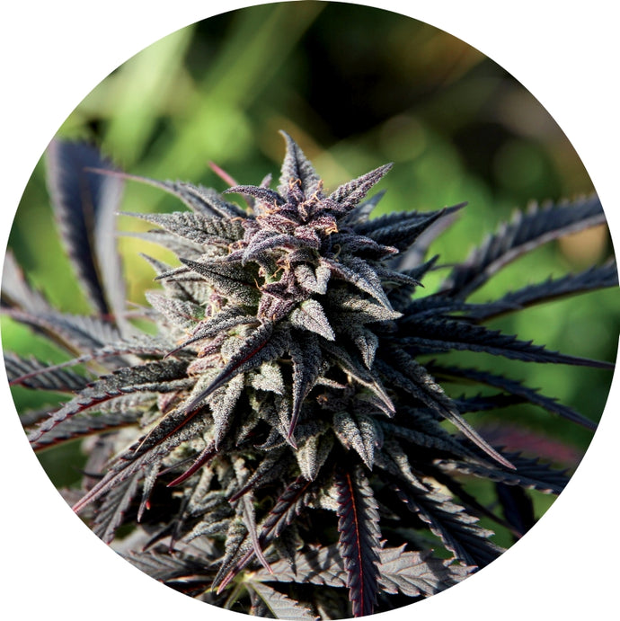 Tao Purple Regular Seeds - 10