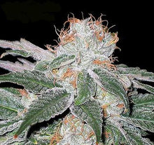 Load image into Gallery viewer, White Widow Feminised Seeds
