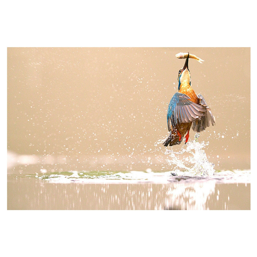 Kingfisher - Art & photography - StaaG®