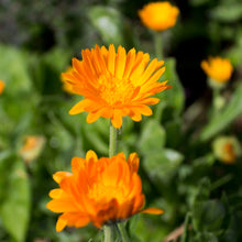 Plant Essence - Calendula  (the sun comes out)