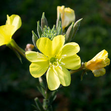 Plant Essence - Evening Primrose (flexibility & joy)