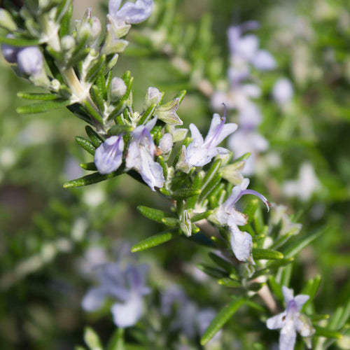 Plant Essence - Rosemary (be true to yourself)