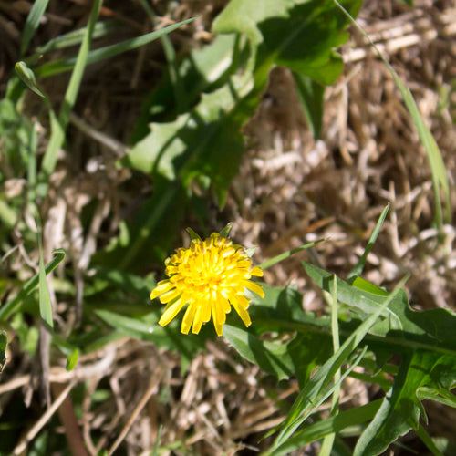 Plant Essence - Dandelion (thriving not drowning)