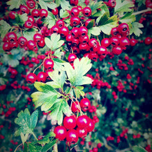 Plant Essence - Hawthorn No.2 'Edgy Tree'
