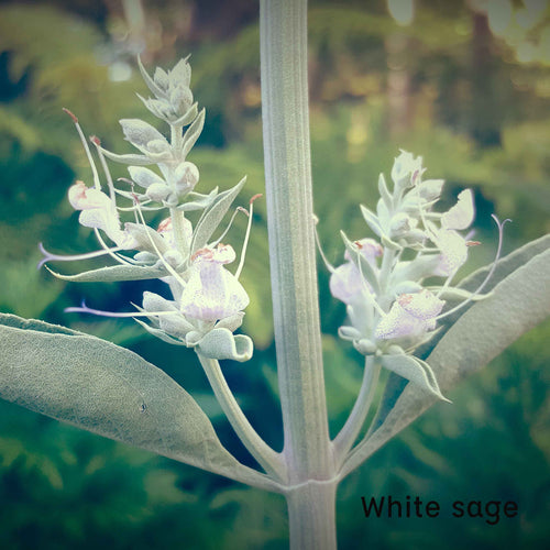 Plant Essence - White Sage (sacred purification)