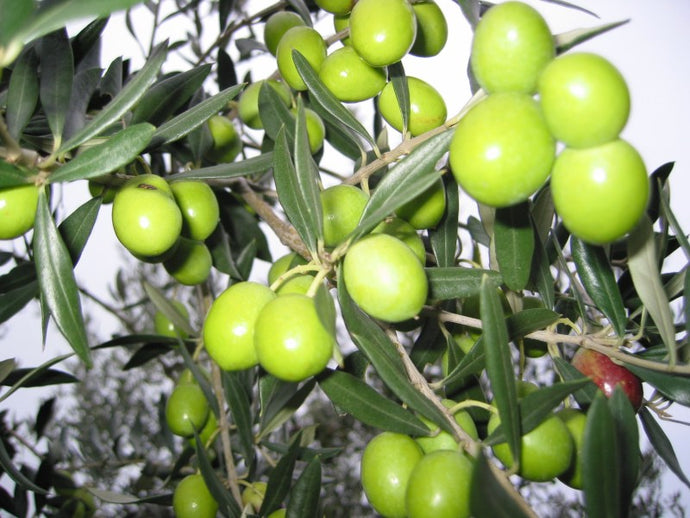 Health Benefit of Using Early Harvest Olive Oil.