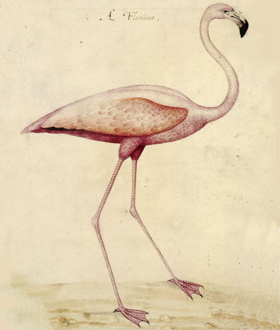 A flamingo - John White