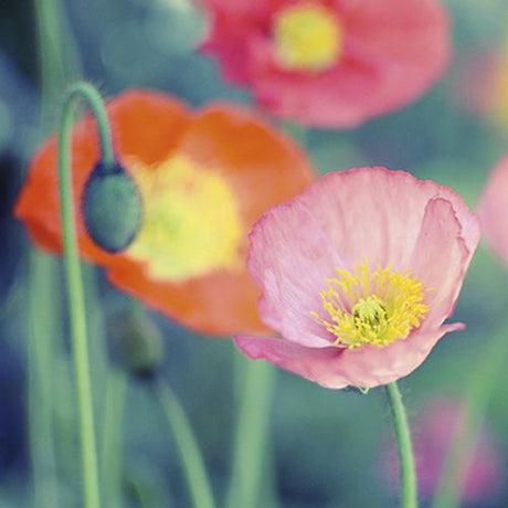 Mindfulness - Poppies 1